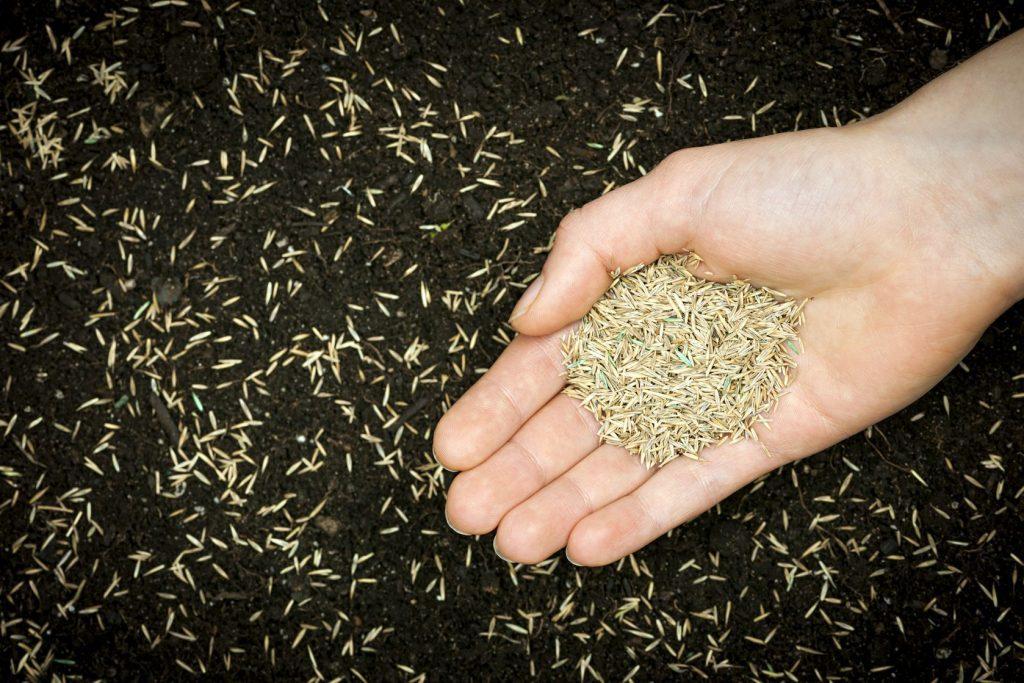 Посадка семян газонной травы
